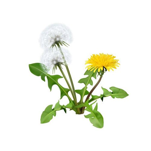 How Can You Benefit From Dandelion?